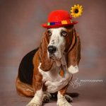 Basset Clown web
